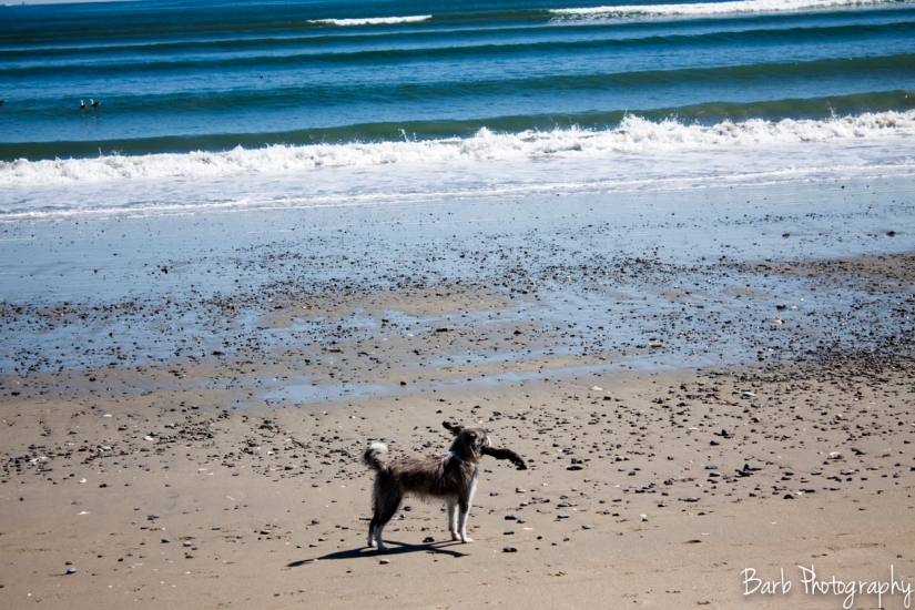 One of the many dogs people had walking the beach. They had a blast running around!